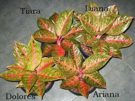 Dolores-Tiara-Ariana-Diana
